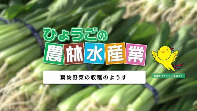 農林水産業副読本視聴覚教材 07『葉物野菜の収穫のようす』