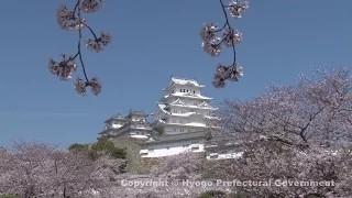 姫路城(桜)①