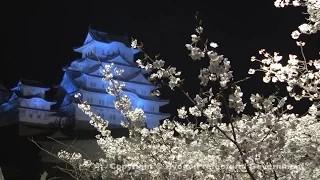 姫路城(夜桜)②